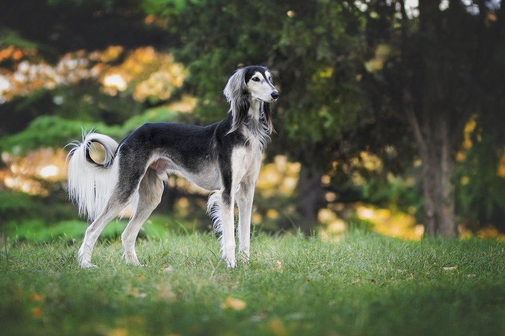 Greyhound - Best dog breeds for small apartments