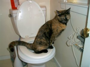 Halo the toilet trained cat - pooping and peeing not in a cat litter box