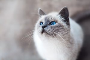 Most Intelligent Cat Breeds