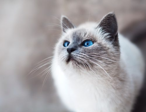 The Most Intelligent Cat Breeds