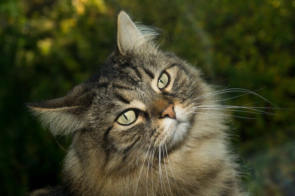 The Best Cat Breeds for Children and Babies - Norwegian forest cat breed