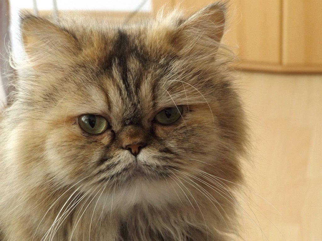 The Best Cat Breeds for Children and Babies - Persian cat breed