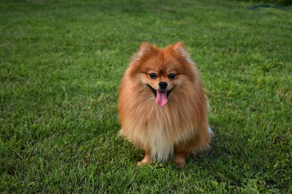 Pomeranian - Best dog breeds for small apartments