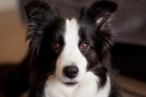 The Most Intelligent Dog Breeds