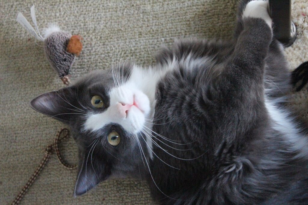 cat hotels and cat sitting - cat playing with toys