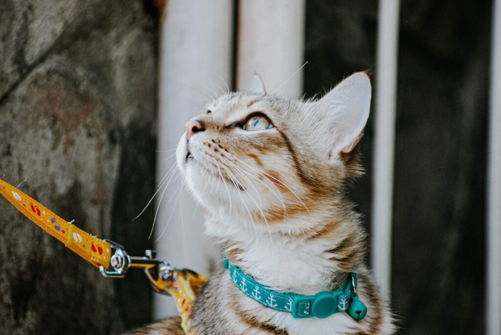 Train your cat to walk on a leash