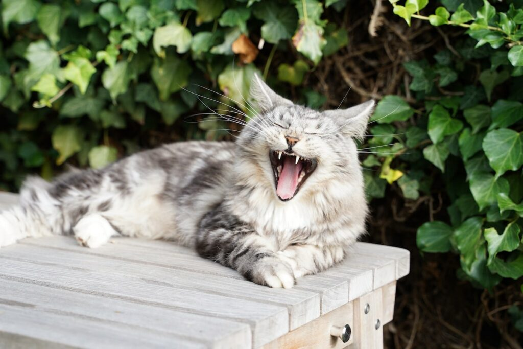 Reasons why your Cat is Drooling