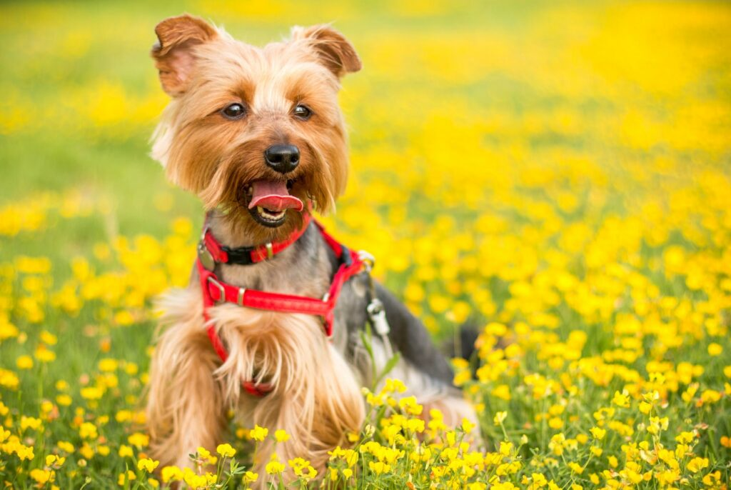 Yorkie Yorkshire terrier on a meadow