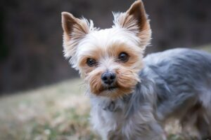 Yorkie Yorkshire Terrier - Best dog breeds for small apartments