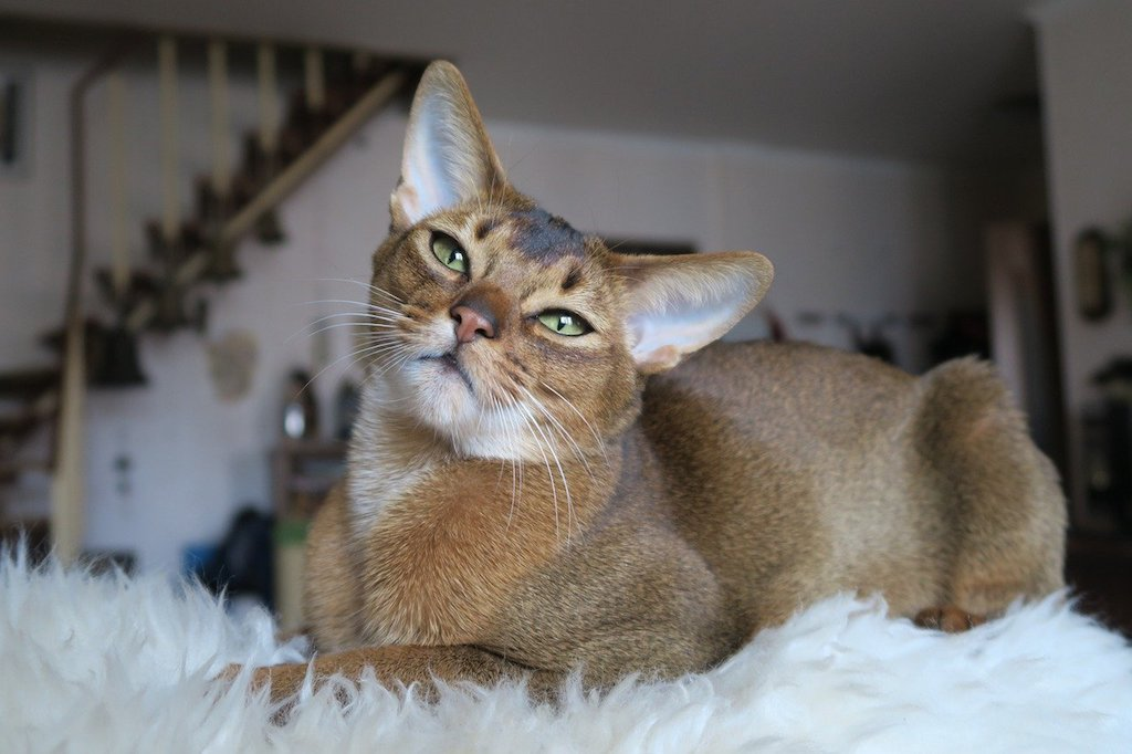 The most intelligent cat breeds - abyssinian cat