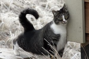 american shorthair cat head bunting
