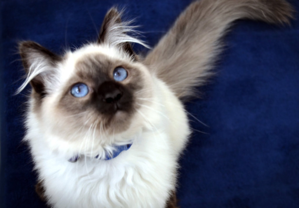 The most intelligent cat breeds - balinese