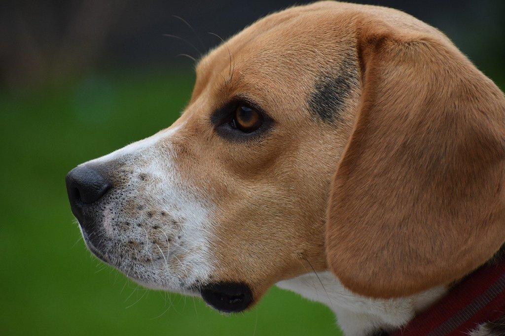 beagle dog breed - head shot