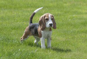 beagle dog breed on a leash