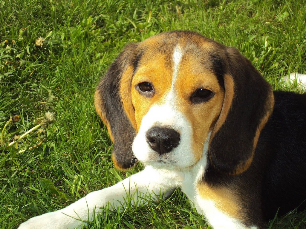 beagle puppy dog