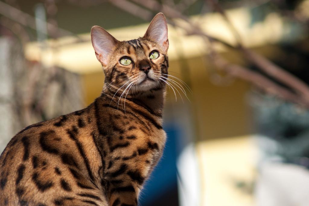 The most intelligent cat breeds - Bengal