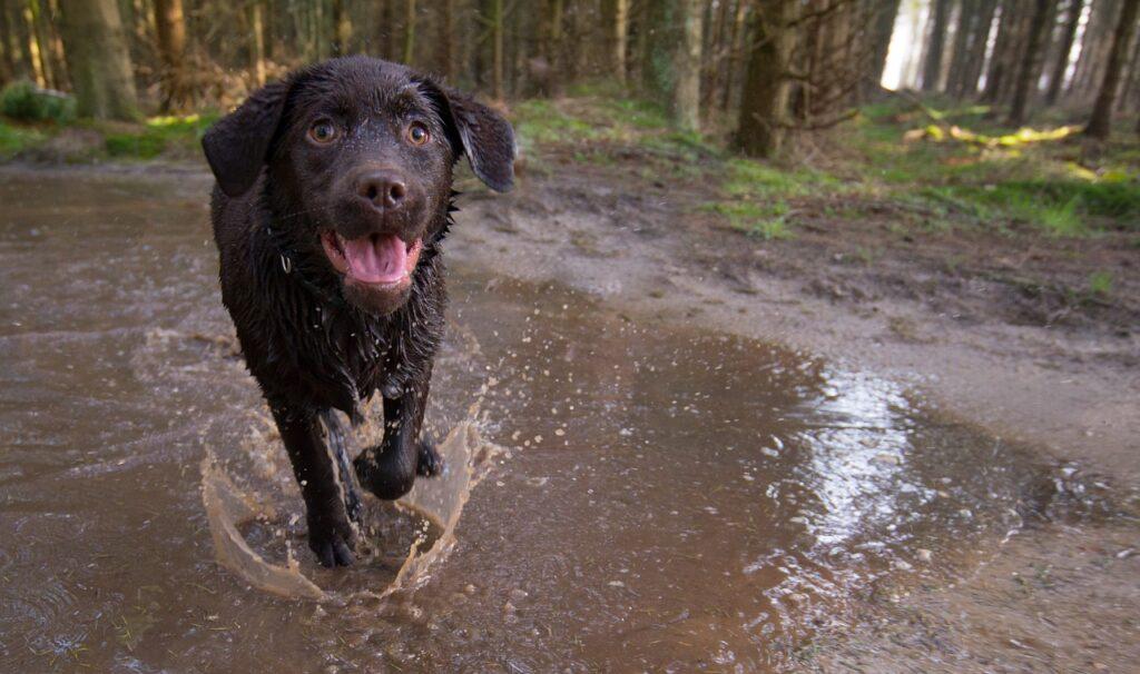 black dog running through a puddle