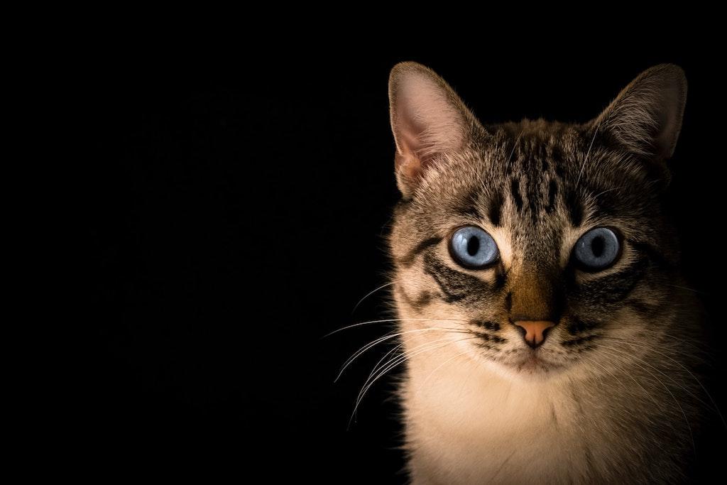 common cat eye problems - blue-eyed cat