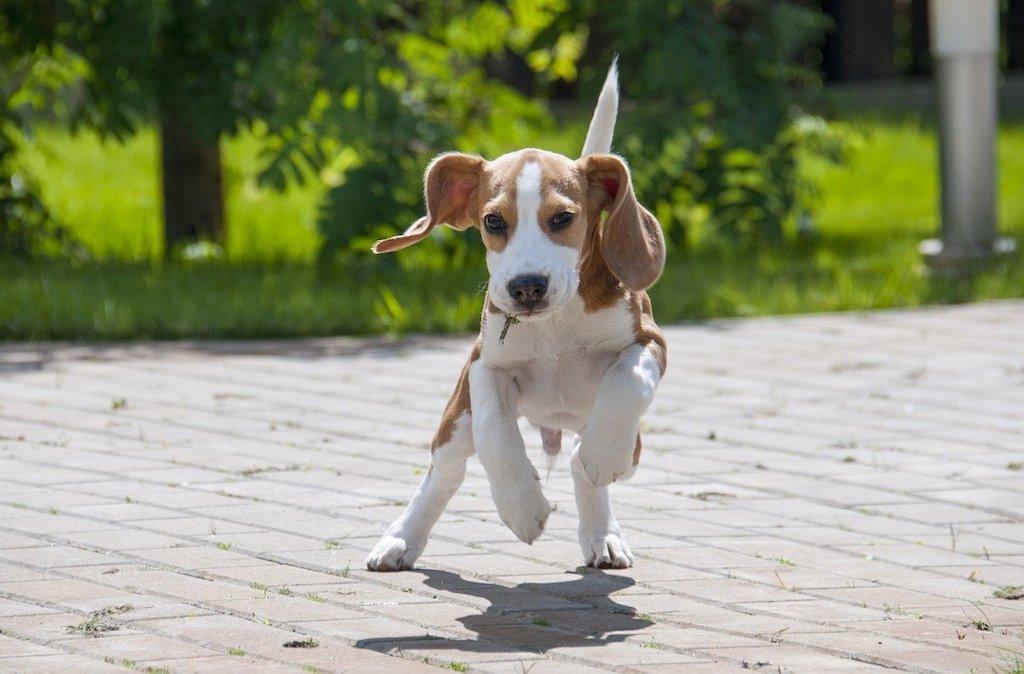 boisterous prancing beagle