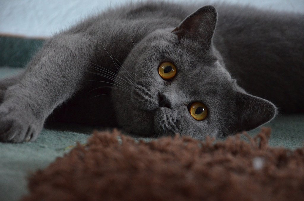 The Best Cat Breeds for Children and Babies - british shorthair cat breed