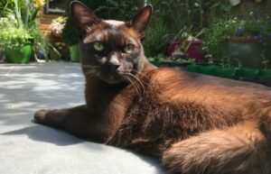brown burmese cat breed