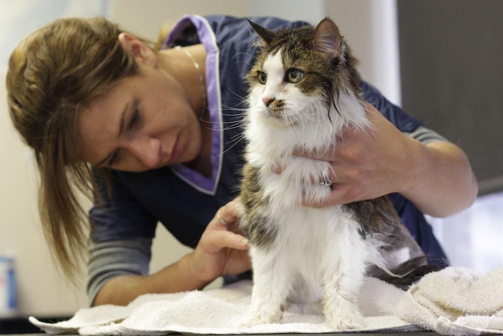 cancer in cats - vet examines a sick cat