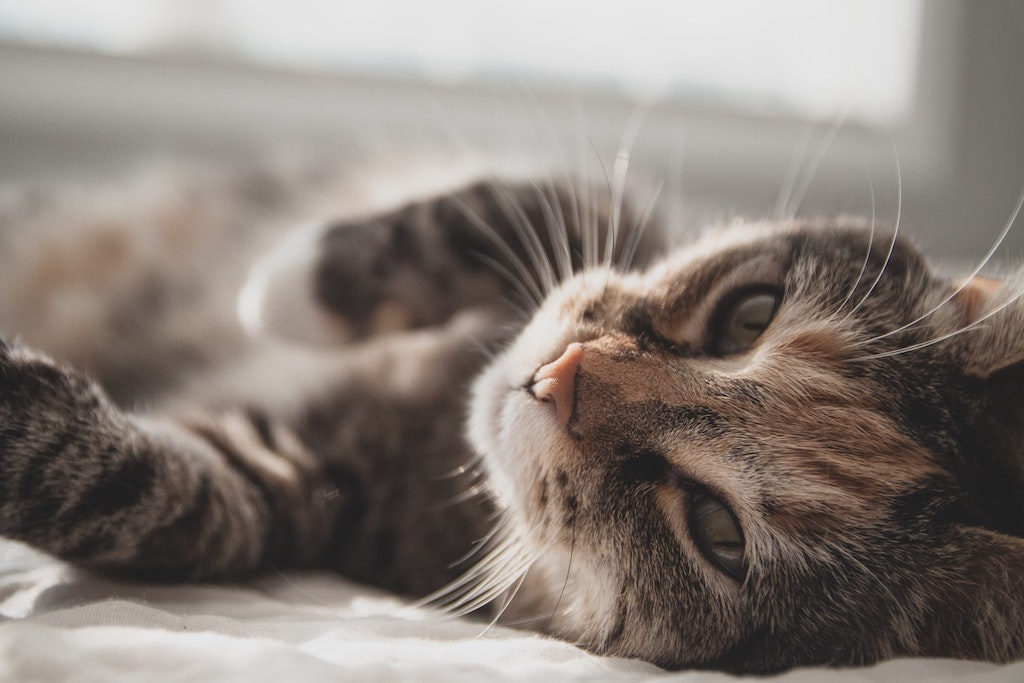 cat lying on the side - cat diabetes