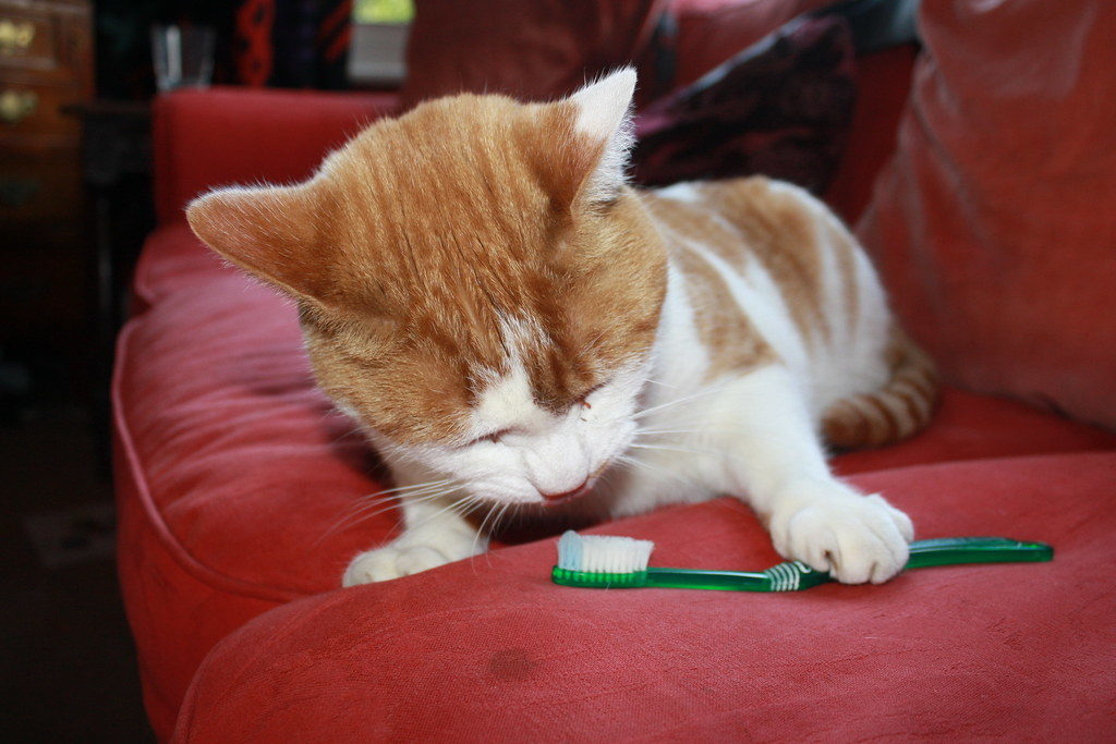 Proper Cat Dental Care: How to Clean Your Cat's Teeth