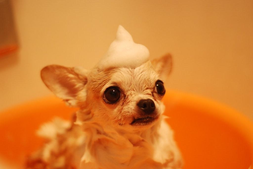 chihuahua bath foam