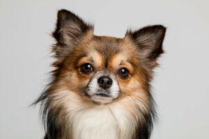 chihuahua miniature dog breed
