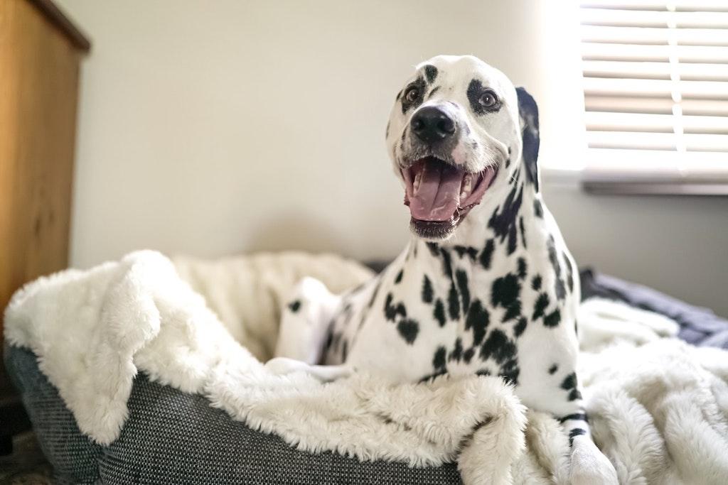 dalmatian in a dog bed