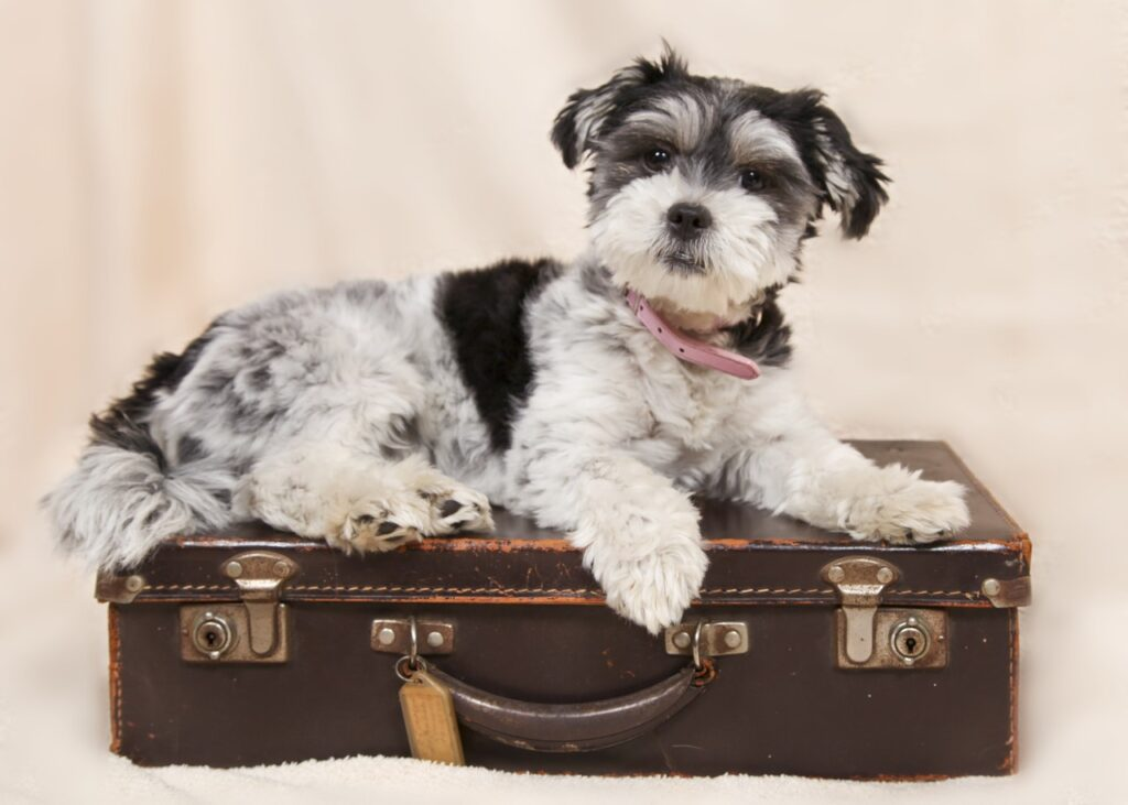 dog in a suitcase for travel