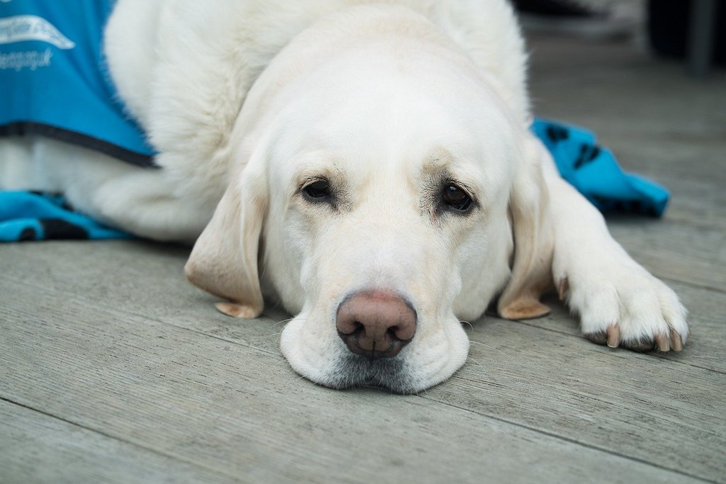 dog lab feeling sick and weak possibly with hernia