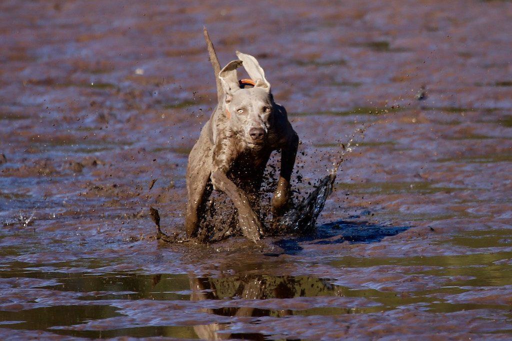 dog running through a muddy puddle