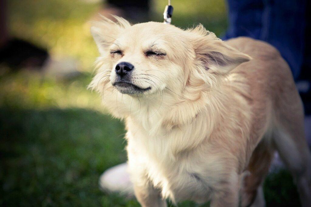 dog shaking chihuahua