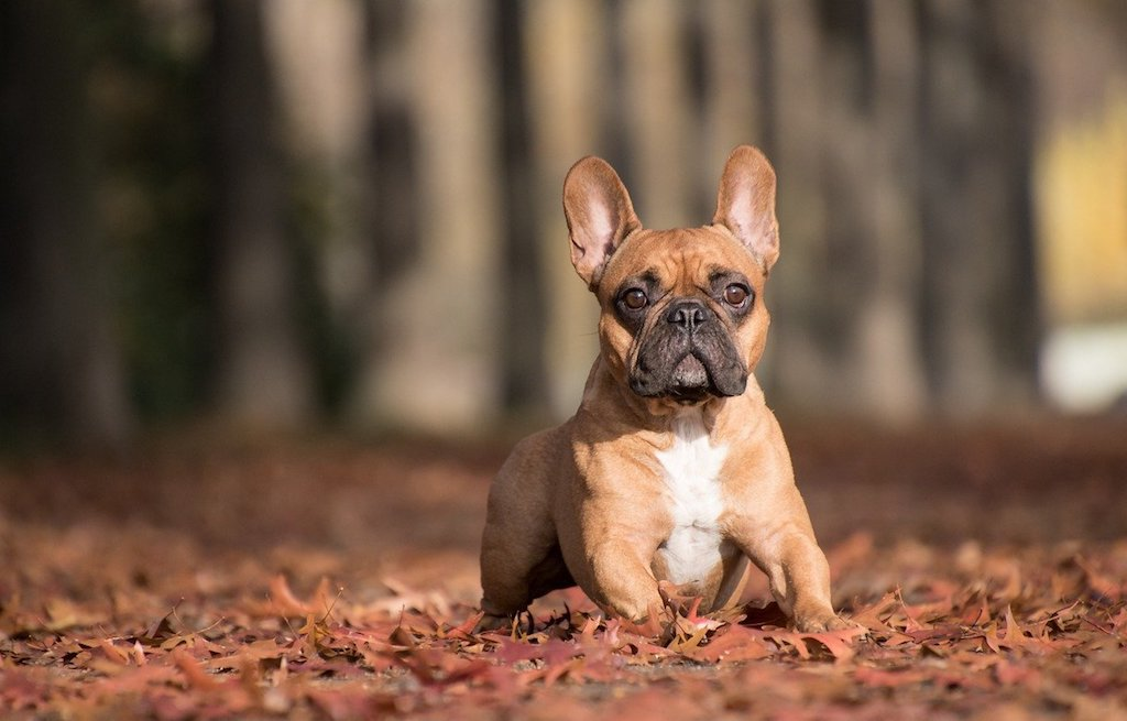 french bulldog adult dog breed