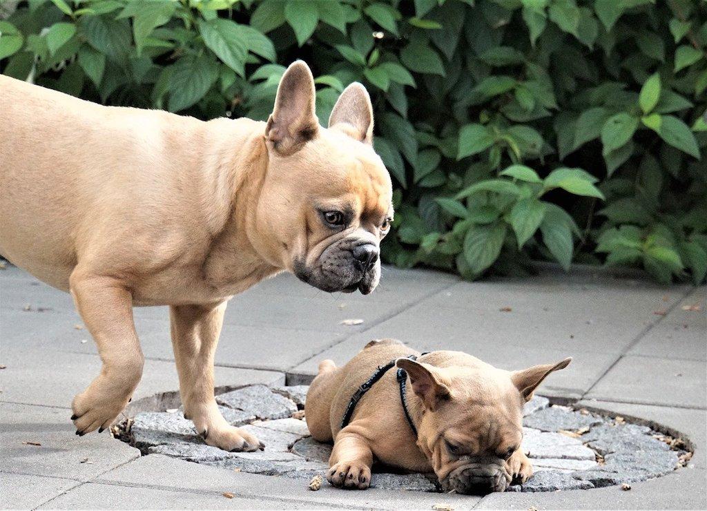 french bulldog dog breed - mom and puppy