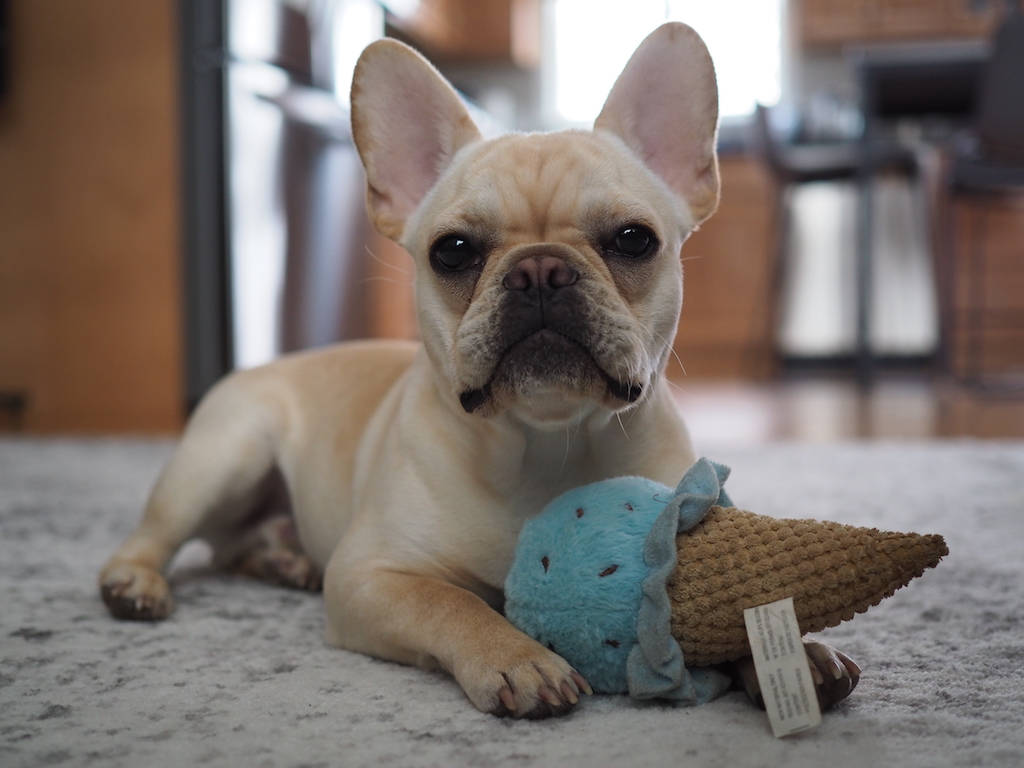 french bulldog puppy with a toy