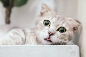 funny cat sticking her tongue out