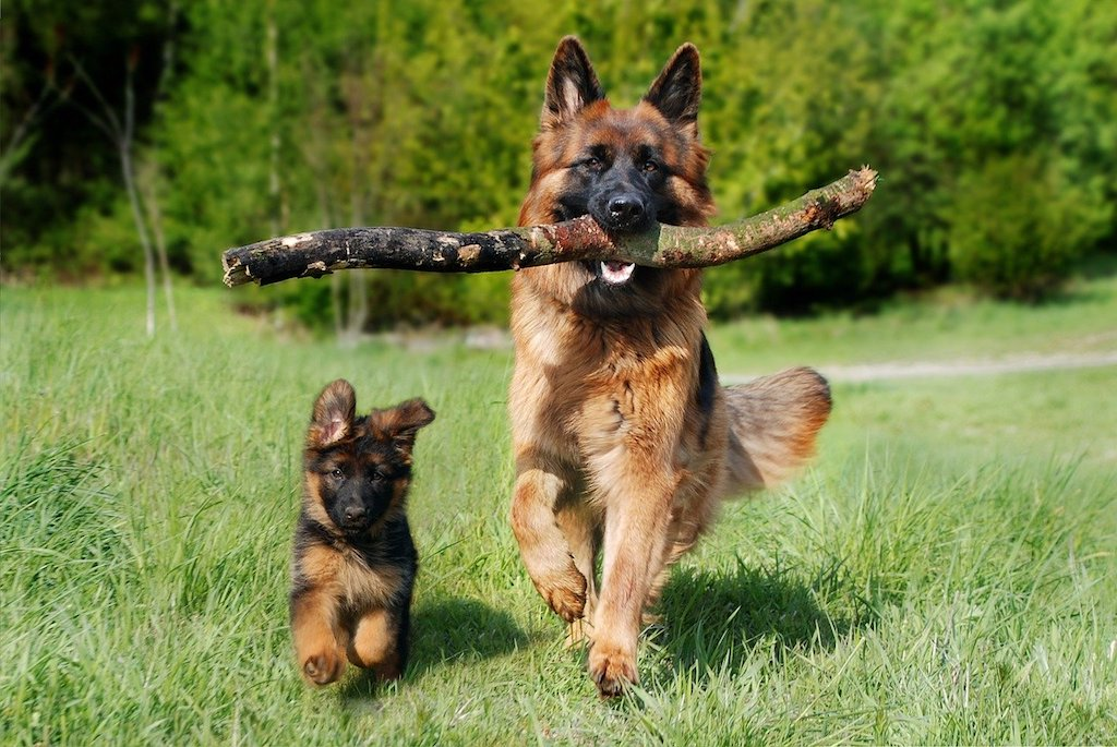 german shepherd dog breed parent and puppy