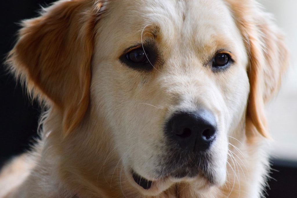 golden retriever breed