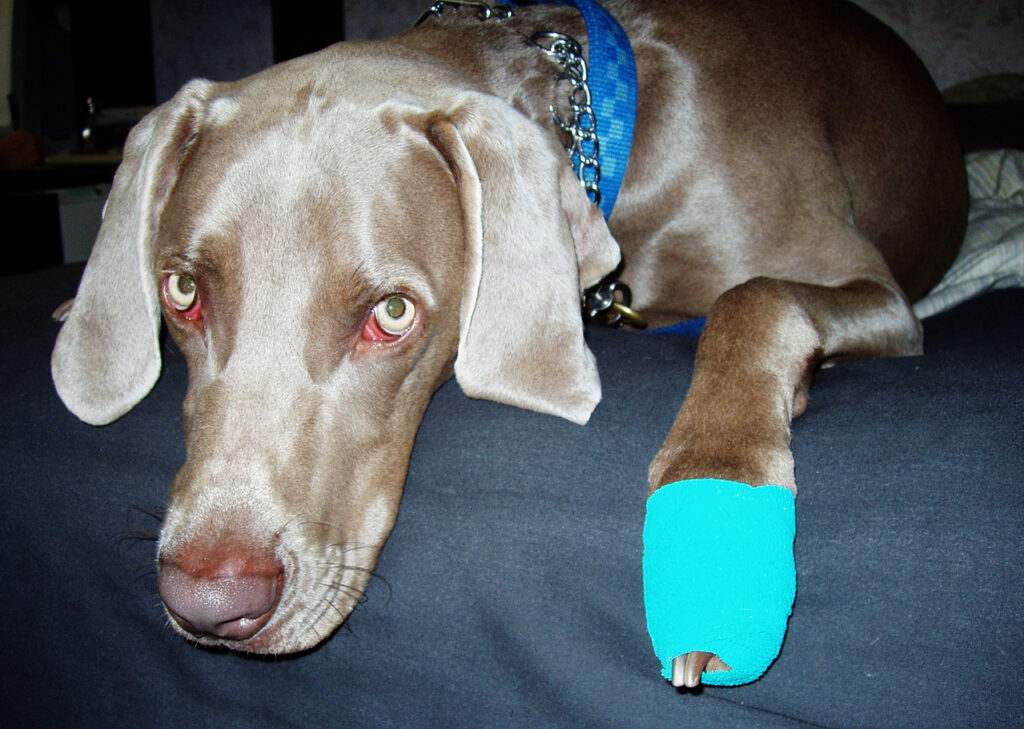 injured dog with a bandaged paw