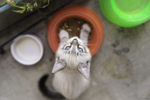 kitten eating kitten food in a bowl