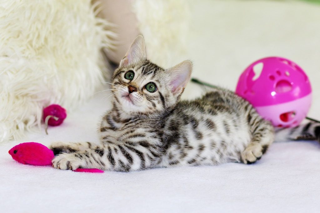 caring for a kitten - kitten playing with toys