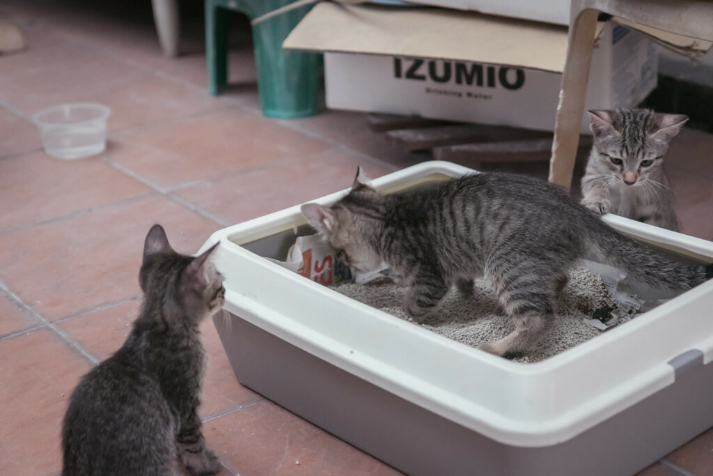 kittens in a cat litter tray