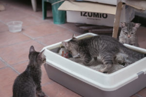 kittens in a cat litter tray