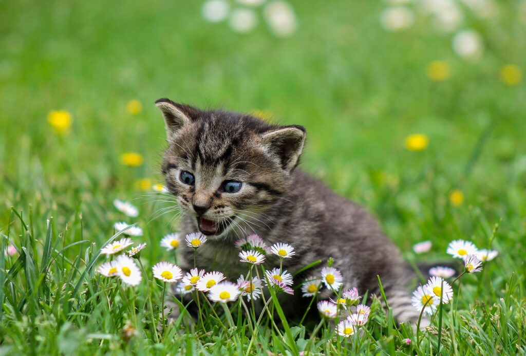 little kitten smelling daisies