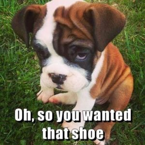 oh so you wanted that shoe guilty puppy