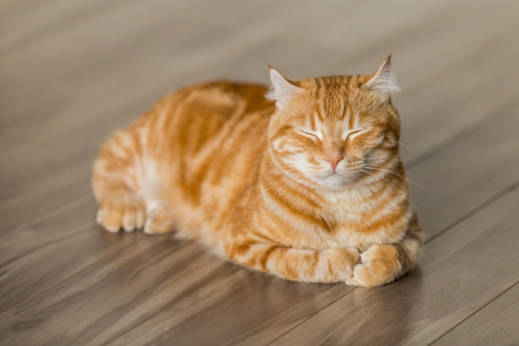 common cat eye problems - orange cat with closed eyes