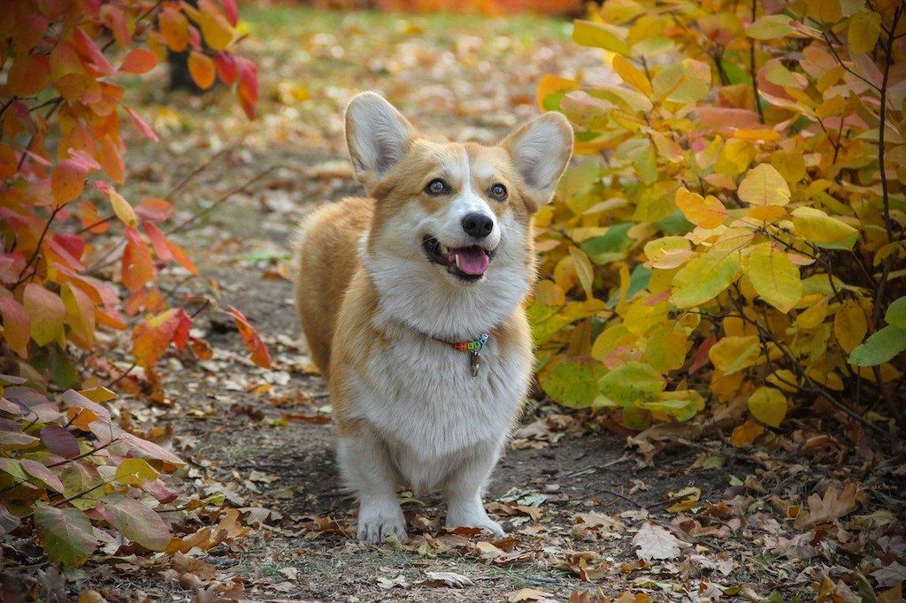 pembroke welsh corgi dog breed
